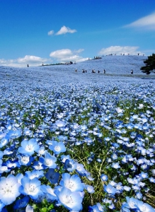 Hitachi_Seaside_Park_3